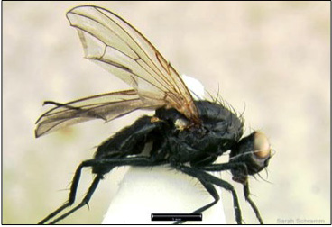 Adult SCM Fly