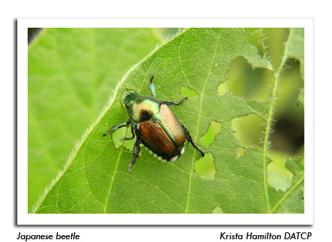 Japanese Beetle Adult