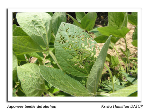 Japanese Beetle Defoliation