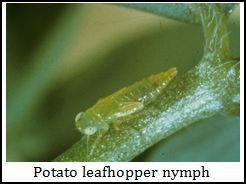 potato leafhopper nymph