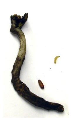 snakehead soybean