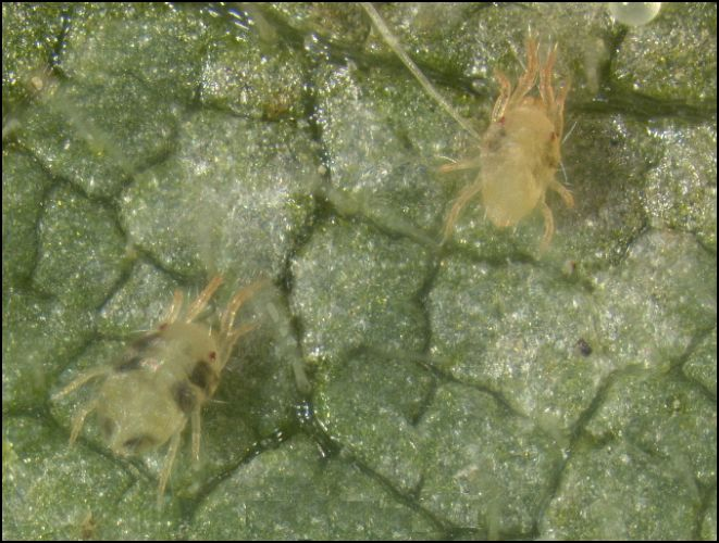 spider mite adults