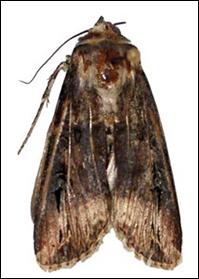 Black cutworm moth.