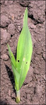 Black cutworm feeding damage by small larvae on young corn plant.