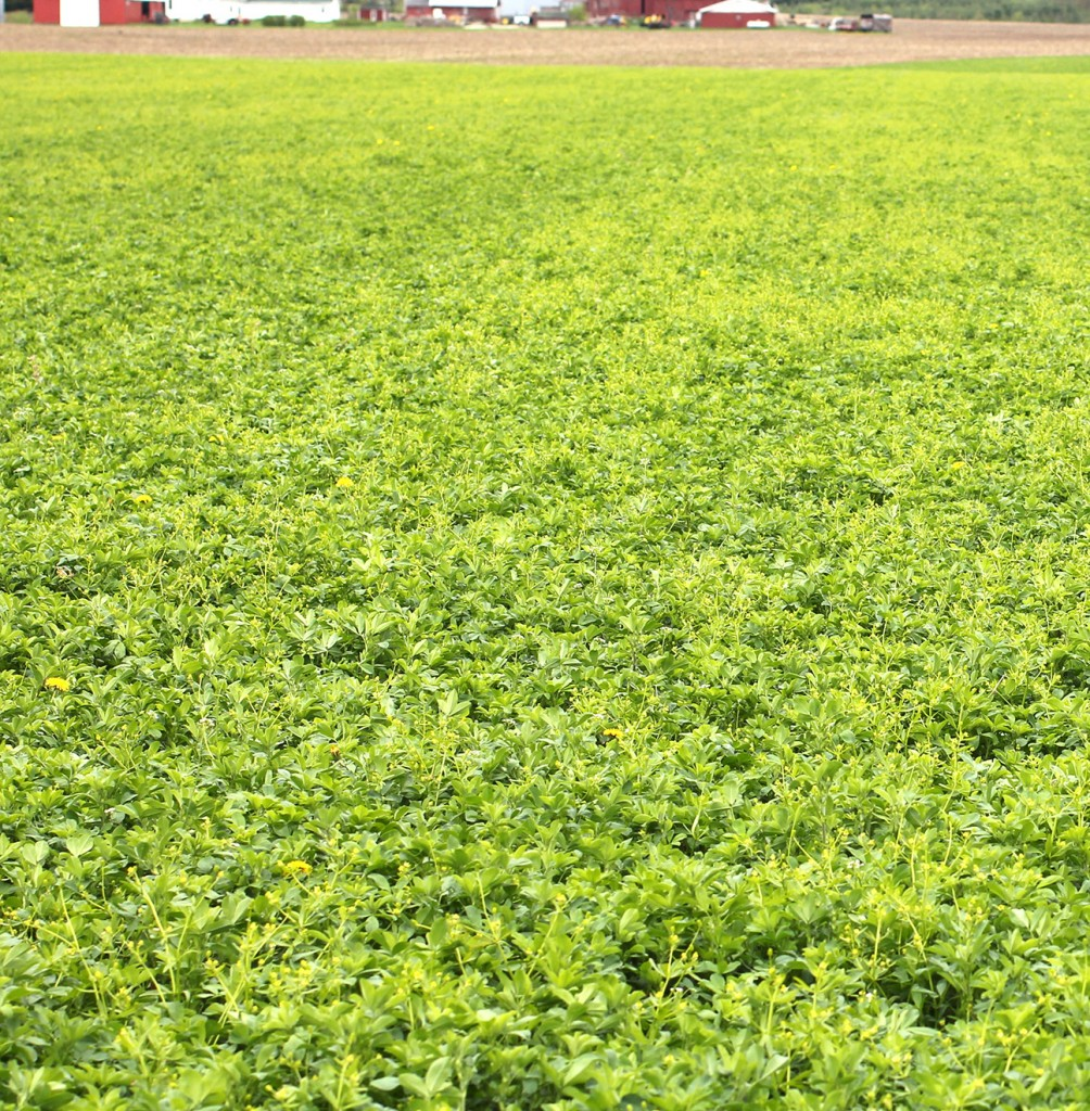 Little leaf buttercup (weed with yellow flower) shown infesting a spring alfalfa field.