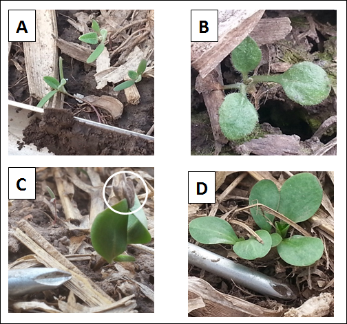 Figure 1. A) Common lambsquarters, Chenopodium album; a soil sampler, one inch diameter, is in the foreground B) Horseweed (marestail), Conyza canadensis; C) Giant ragweed, Ambrosia trifida, with seed capsule attached; D) Giant ragweed seedlings.