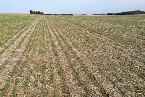 Figure 2. Winter wheat stand in southern Wisconsin