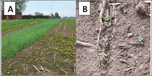 Figure 3. A) Cereal (winter rye), S. cereale, on the left, and annual ryegrass, Lolium multiflorum, on the right, showing partial winterkill especially in the foreground.  B) Annual ryegrass with partial winterkill.