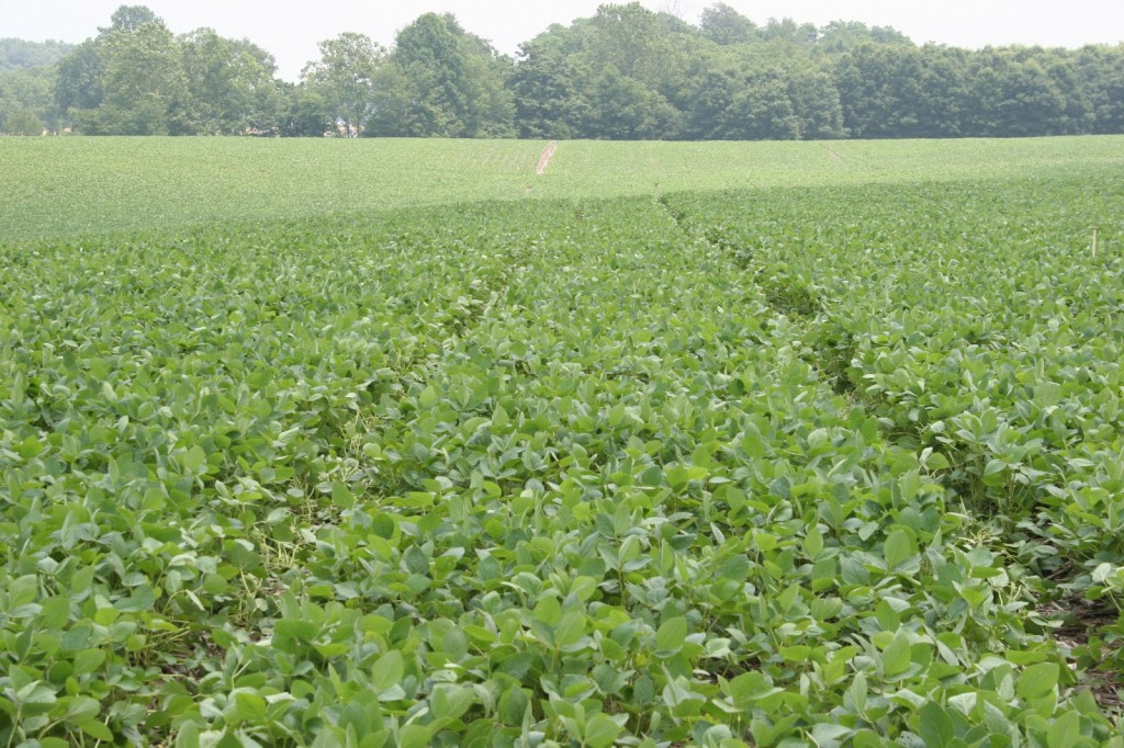 Wheel track damage to drilled soybean at R1
