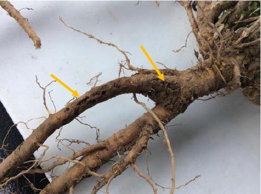 Figure 1 Larval Feeding Scars on Alfalfa Taproot