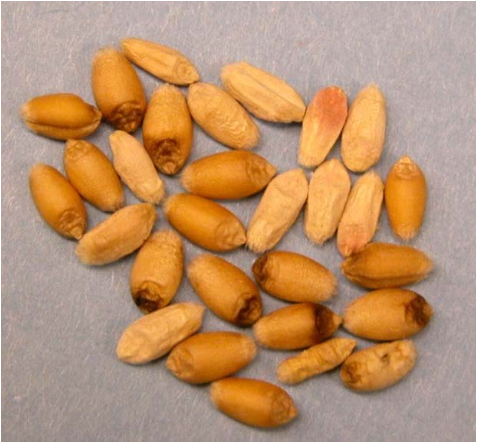 Image 1. Scabby and Tombstone Kernels (Photo courtesy of Karen Lackerman)
