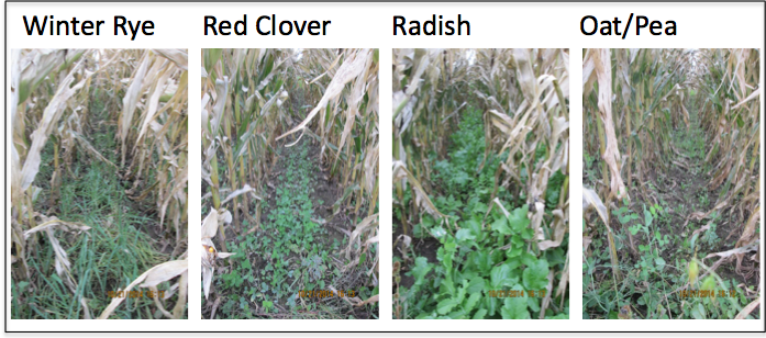 Figure 3. Cover crop stands immediately prior to harvest with average corn yield (bu/ac) and average cover crop dry biomass weight (ton/ac).