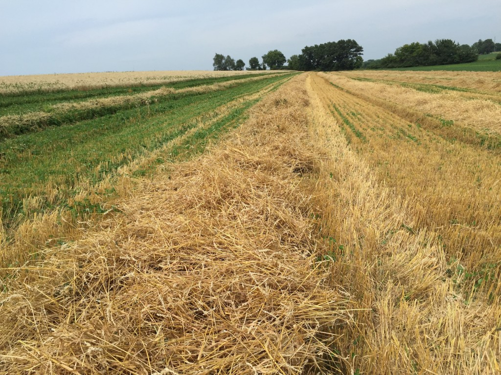 Too much clover on left, more wheat and straw on right.