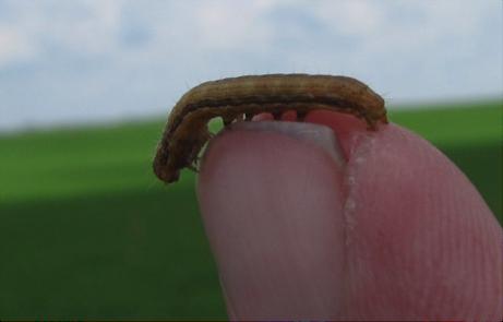 armyworm larvae
