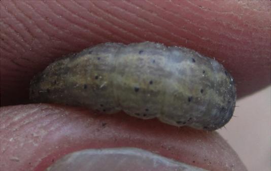 blackcutworm