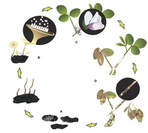 Figure 2. White mold cycle on soybean. Drawing created by Renée Tesdall.