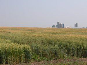 Winter Wheat Grown in Wisconsin