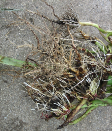 Root regeneration