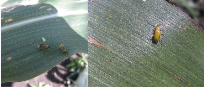 Western (L) and Northern (R) corn rootworm beetles