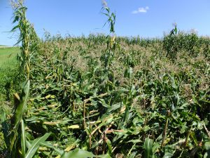 Figure 2. Corn field with considerable lodging due to anthracnose stalk rot.
