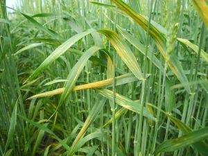 "Figure 1. Stripe rust in a ""striped pattern"" on winter wheat leaves."