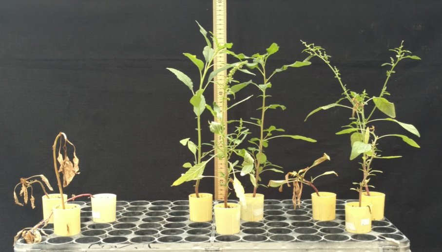 Figure 1. Common waterhemp plants from susceptible, Crawford County, and Walworth County populations 28 days after treatment with glyphosate at 0.77 lb ae acre-1.