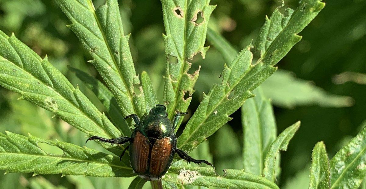 Industrial Hemp with Japanese Beetle