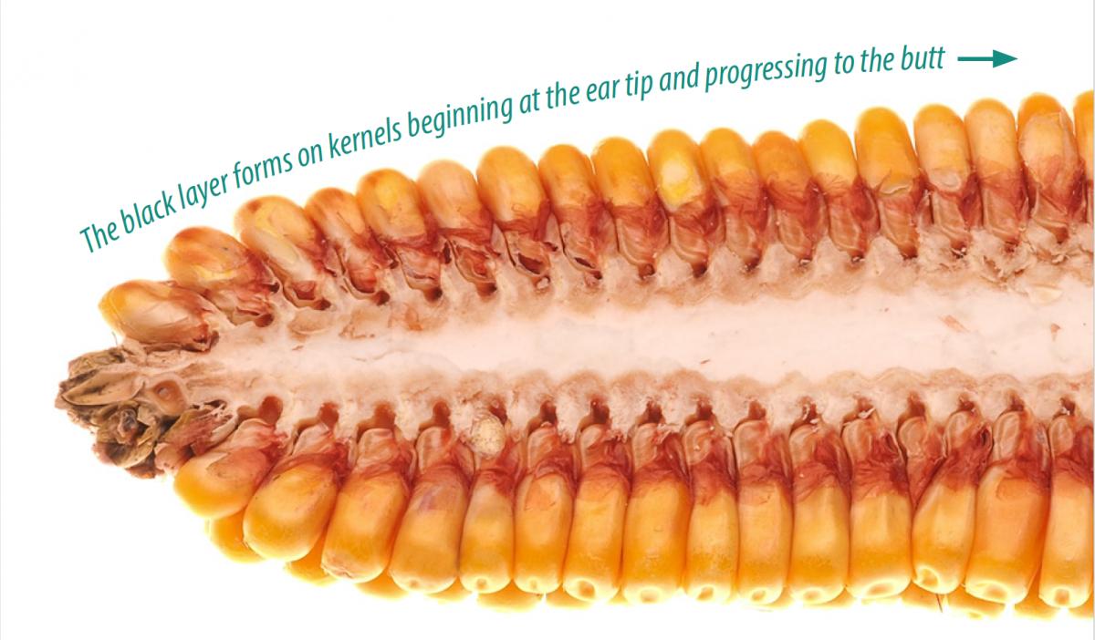 Corn Development Picture